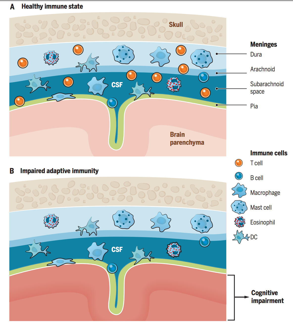 Multifaceted interactions between adaptive immunity and the central nervous system.