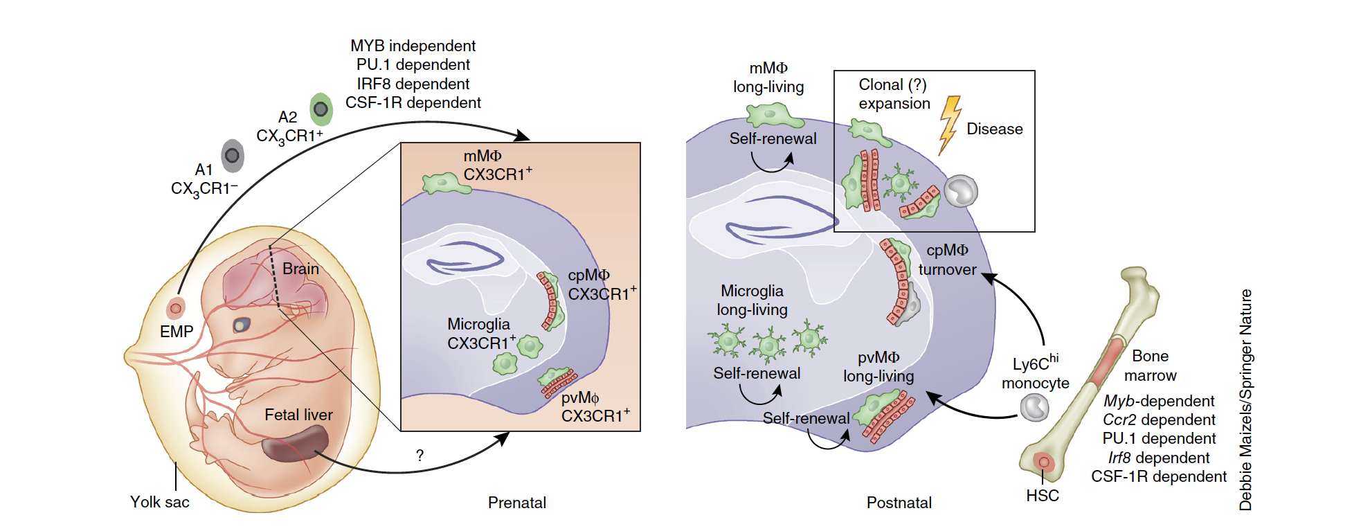 Ontogeny and homeostasis of CNS myeloid cells