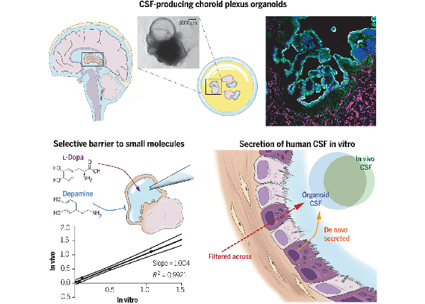 Human CNS barrier-forming organoids with cerebrospinal fluid production