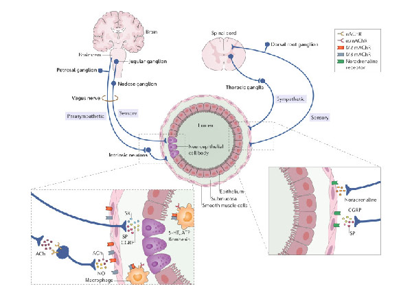 Lung innervation in the eye of a cytokine storm: neuroimmune interactions and COVID-19.